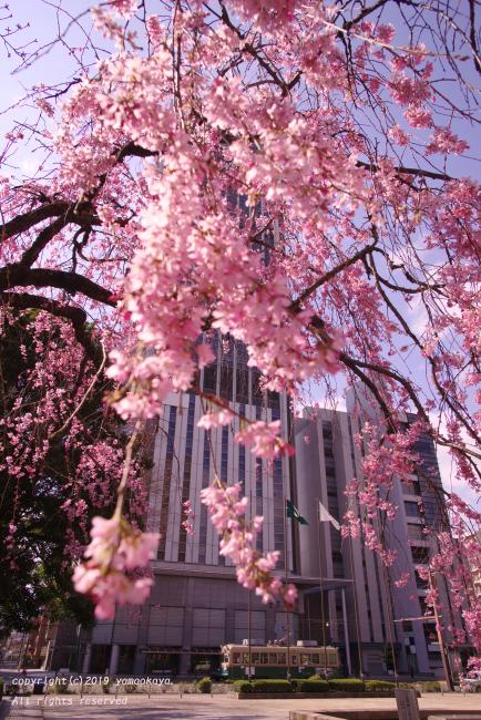 街中の枝垂桜_d0309612_07214151.jpg