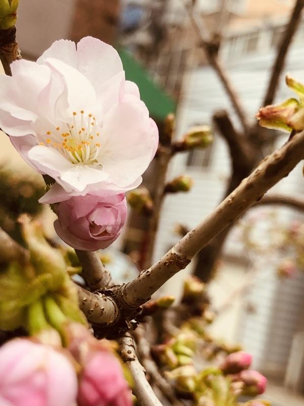 春は桜。咲きましたー。&3月25日(月)のランチメニュー_d0243849_18421751.jpeg