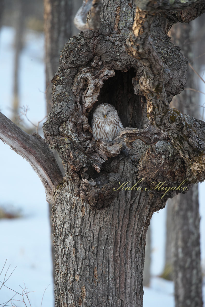 亜種エゾフクロウ(Ural owl)_d0013455_11521841.jpg