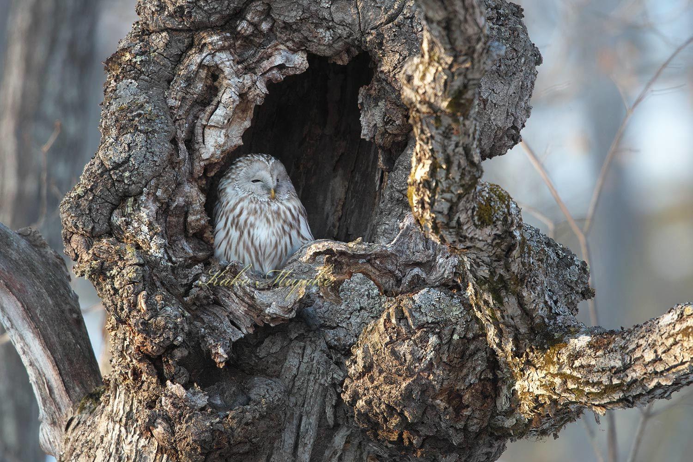 亜種エゾフクロウ(Ural owl)_d0013455_11530292.jpg