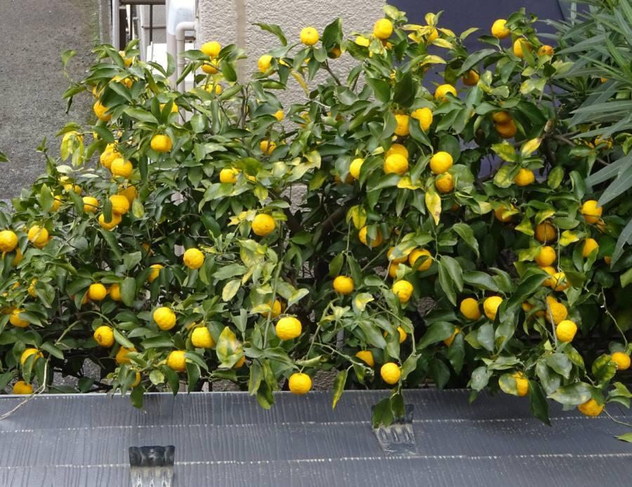 柚子を収穫_f0059673_18502389.jpg
