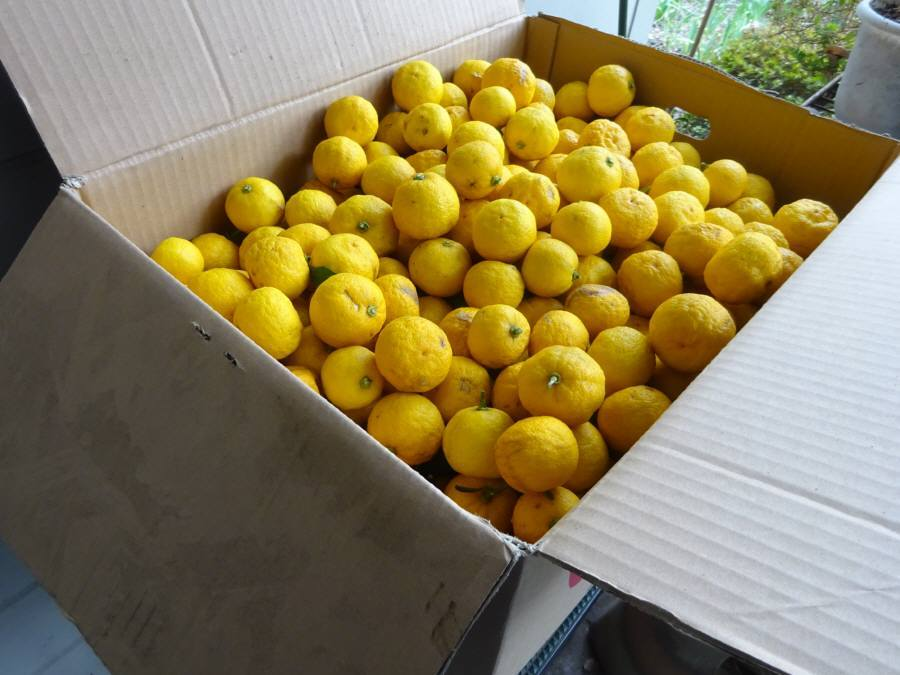 柚子を収穫_f0059673_18521969.jpg