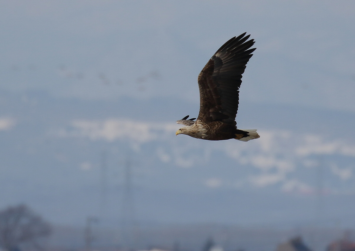 水鳥を狙うオジロワシ_c0113597_11172726.jpg