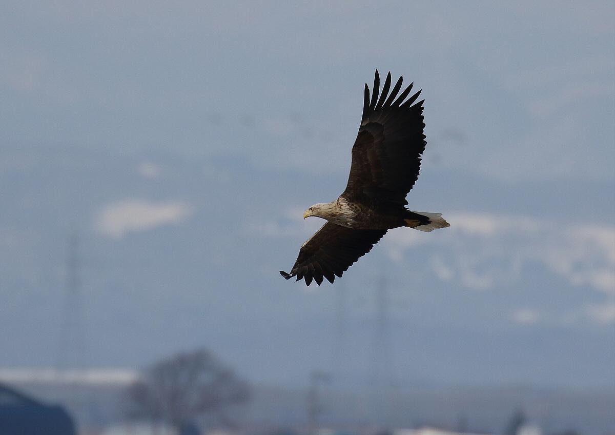 水鳥を狙うオジロワシ_c0113597_11174108.jpg