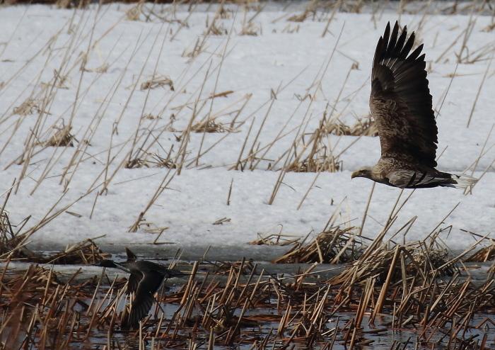 水鳥を狙うオジロワシ_c0113597_11193593.jpg