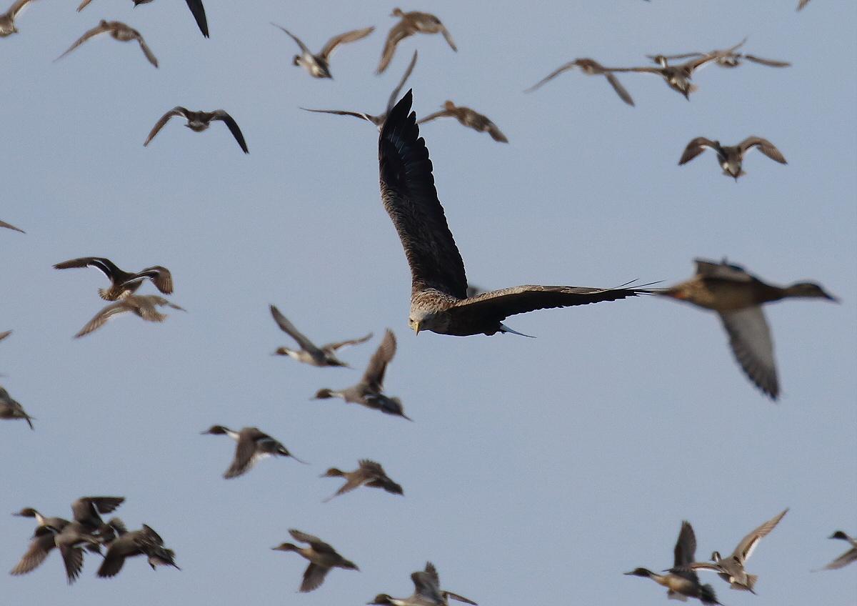 水鳥を狙うオジロワシ_c0113597_11195428.jpg