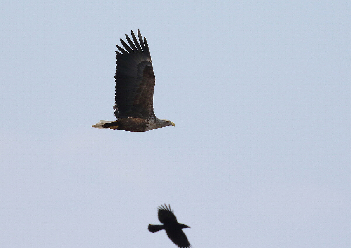 水鳥を狙うオジロワシ_c0113597_11200746.jpg