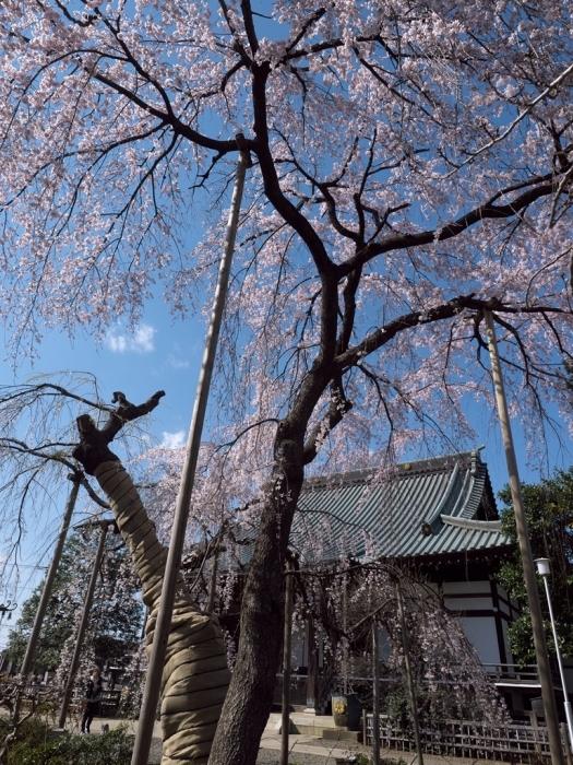 桜追っかけ 地元の桜_f0224100_20540775.jpg