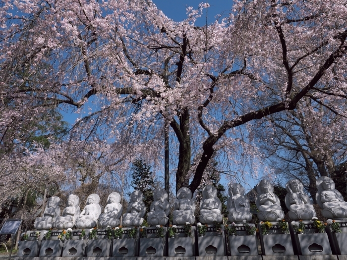 桜追っかけ 地元の桜_f0224100_20543901.jpg
