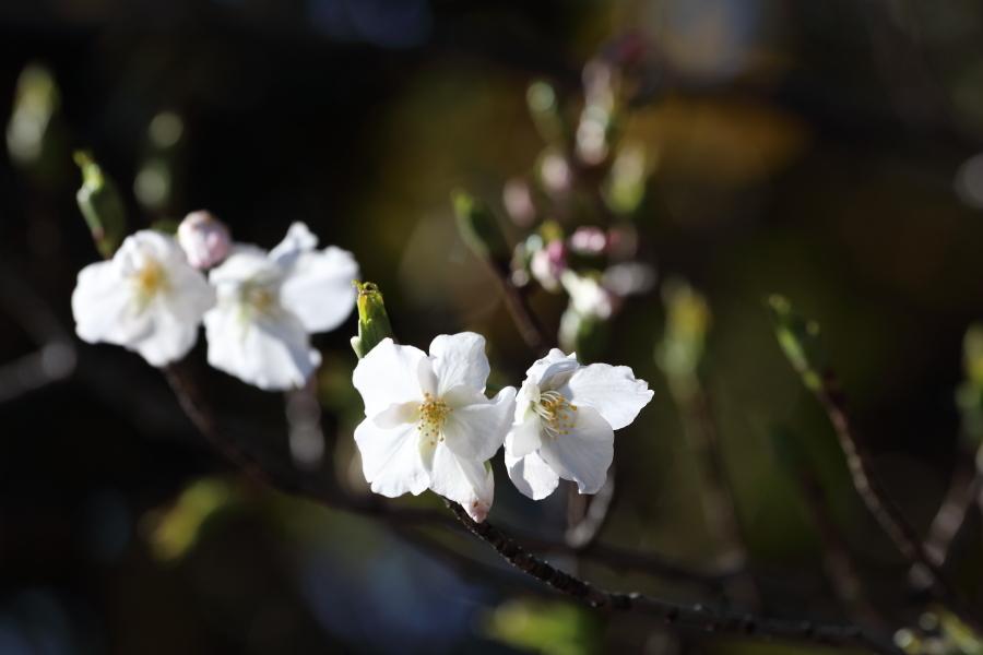 梅咲く里に白煙が舞う - 2019年早春・上越線 -_b0190710_18544436.jpg