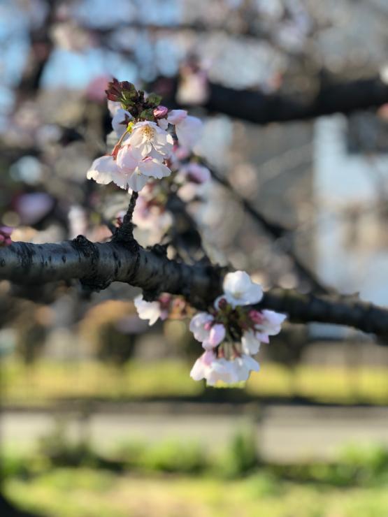 開花って言いますが(開花宣言から3日目)_b0317723_09305597.jpg