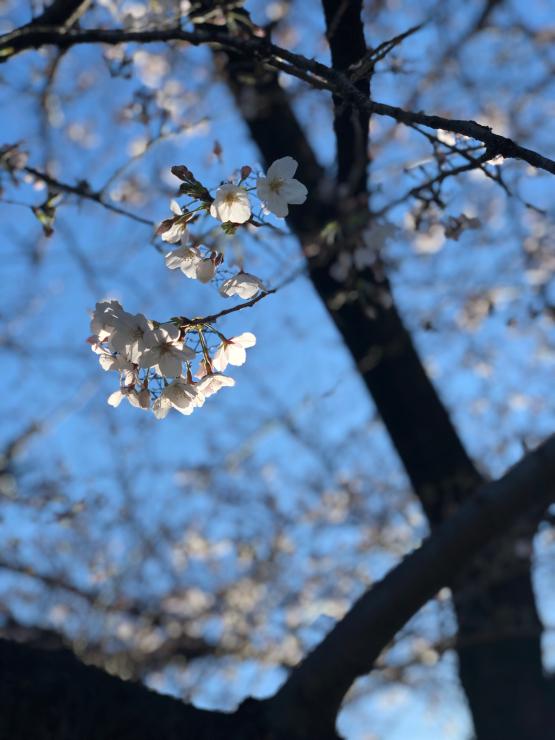 開花って言いますが(開花宣言から3日目)_b0317723_09350158.jpg