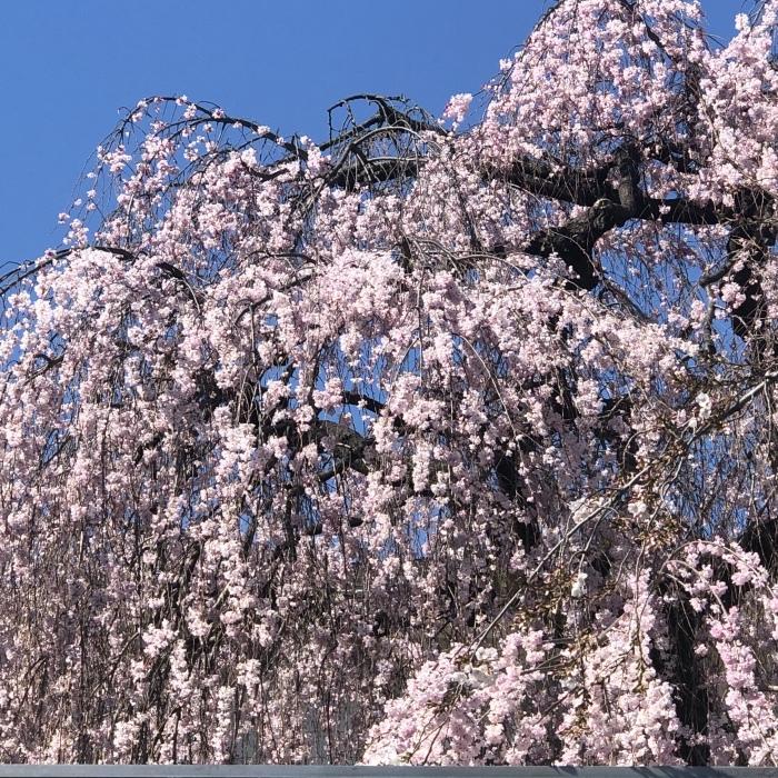 お花見と道明寺_a0169924_10082595.jpeg