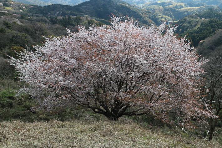 里山歩きで今季お初の春蘭を愛でる!_e0272335_160083.jpg