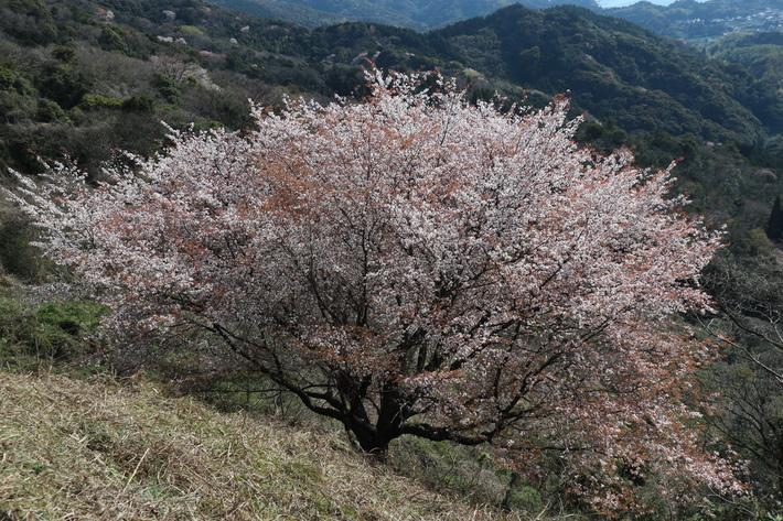 里山歩きで今季お初の春蘭を愛でる!_e0272335_16102567.jpg
