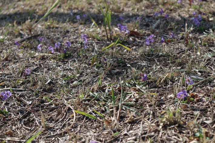 里山歩きで今季お初の春蘭を愛でる!_e0272335_16242712.jpg