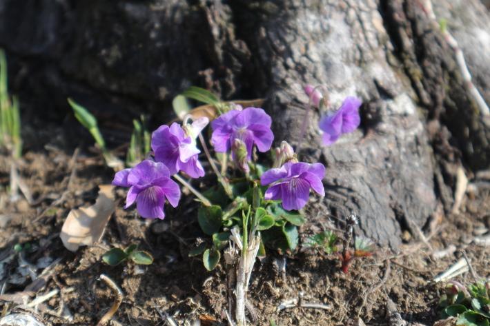 里山歩きで今季お初の春蘭を愛でる!_e0272335_16251755.jpg