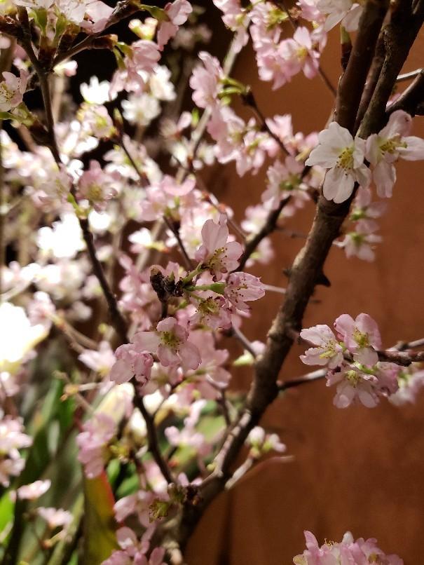 けいおう桜_c0119937_01234116.jpg