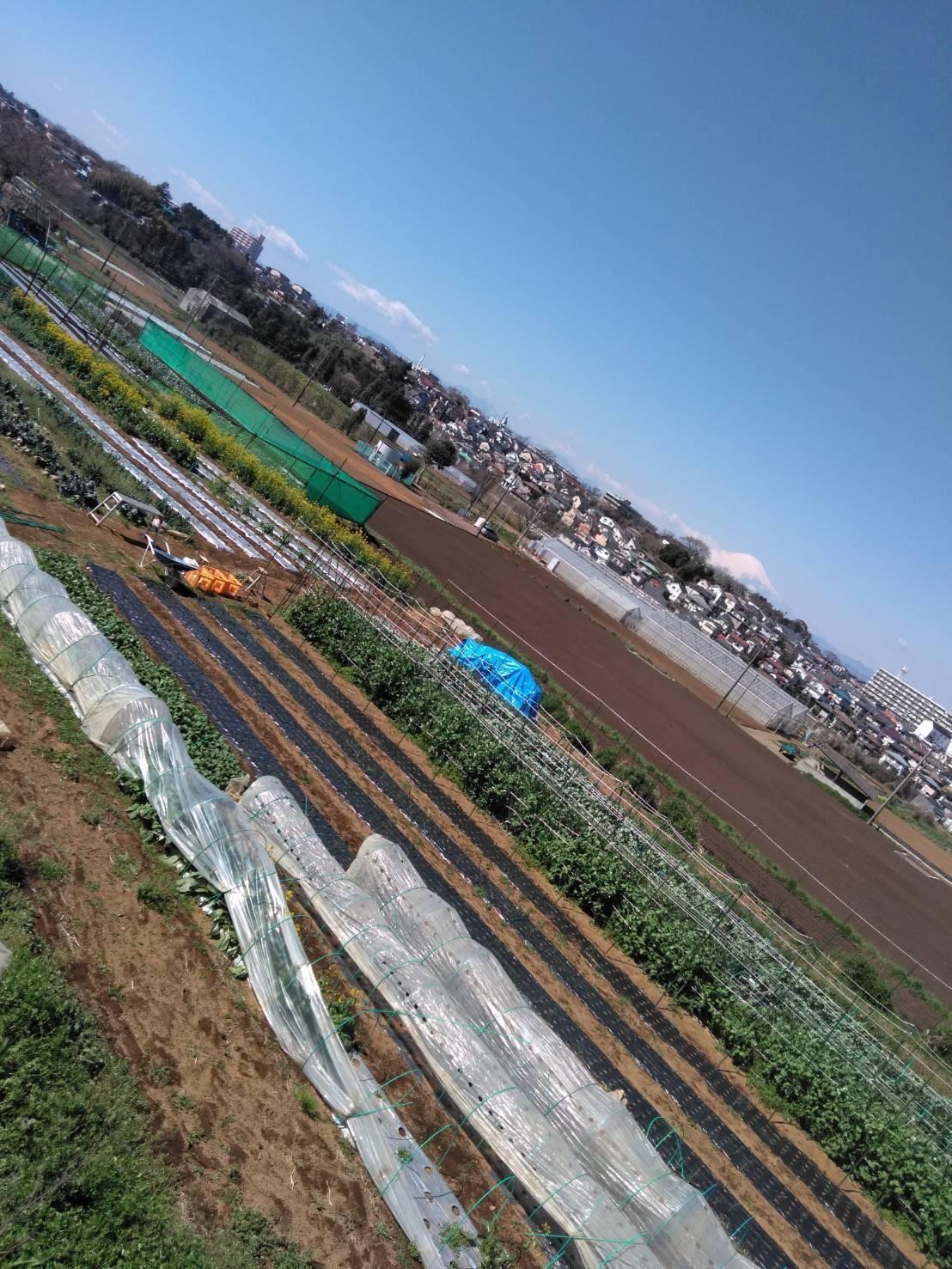 蚕豆ネット張り作業開始 リーキの直播き_c0222448_12001396.jpg