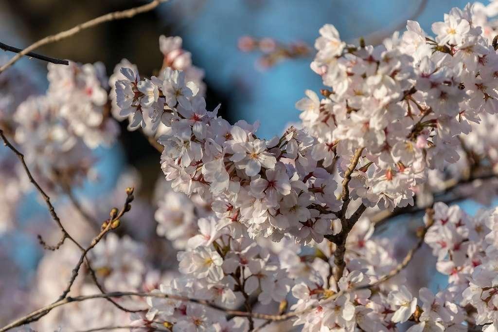 オオシマザクラが8分咲き_f0044056_14564108.jpg