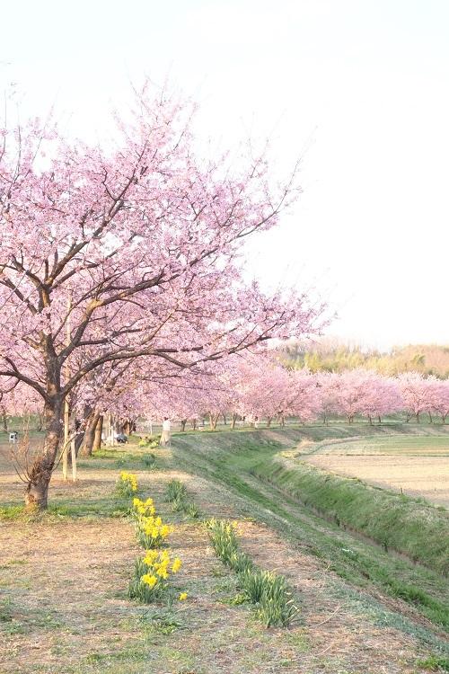 桜さいた_a0292060_12261754.jpg