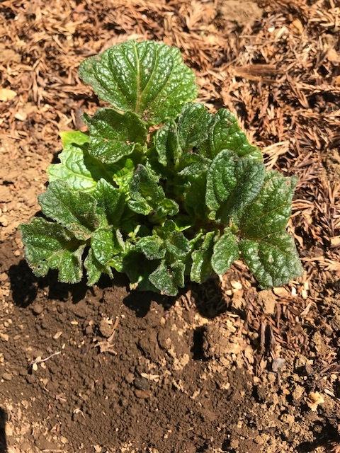 レッドムーン(ジャガイモ)の一部が発芽3・24_c0014967_13281565.jpg