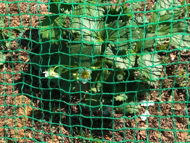 レッドムーン(ジャガイモ)の一部が発芽3・24_c0014967_13314517.jpg