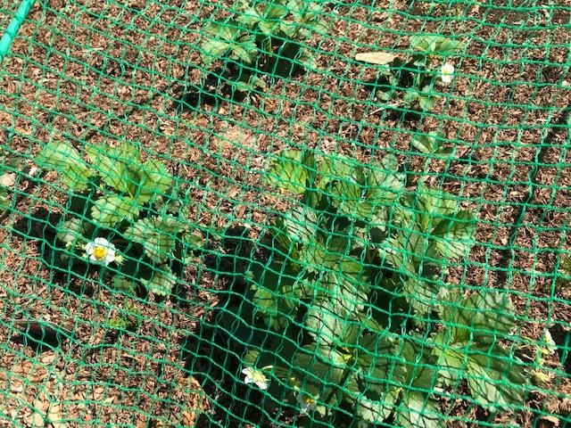 レッドムーン(ジャガイモ)の一部が発芽3・24_c0014967_13320963.jpg
