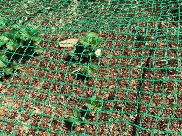 レッドムーン(ジャガイモ)の一部が発芽3・24_c0014967_13322455.jpg