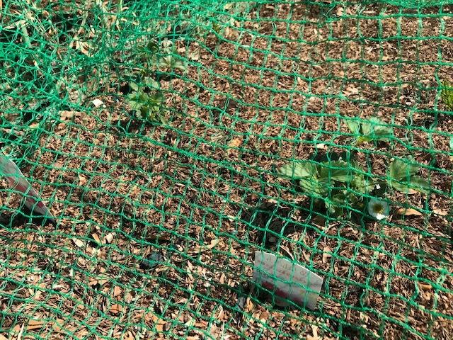 レッドムーン(ジャガイモ)の一部が発芽3・24_c0014967_13323666.jpg