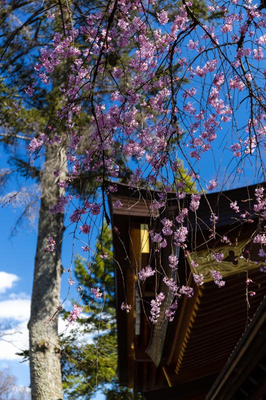 枝垂れ桜 咲く_a0261169_18565409.jpg