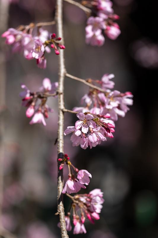 枝垂れ桜 咲く_a0261169_18570756.jpg