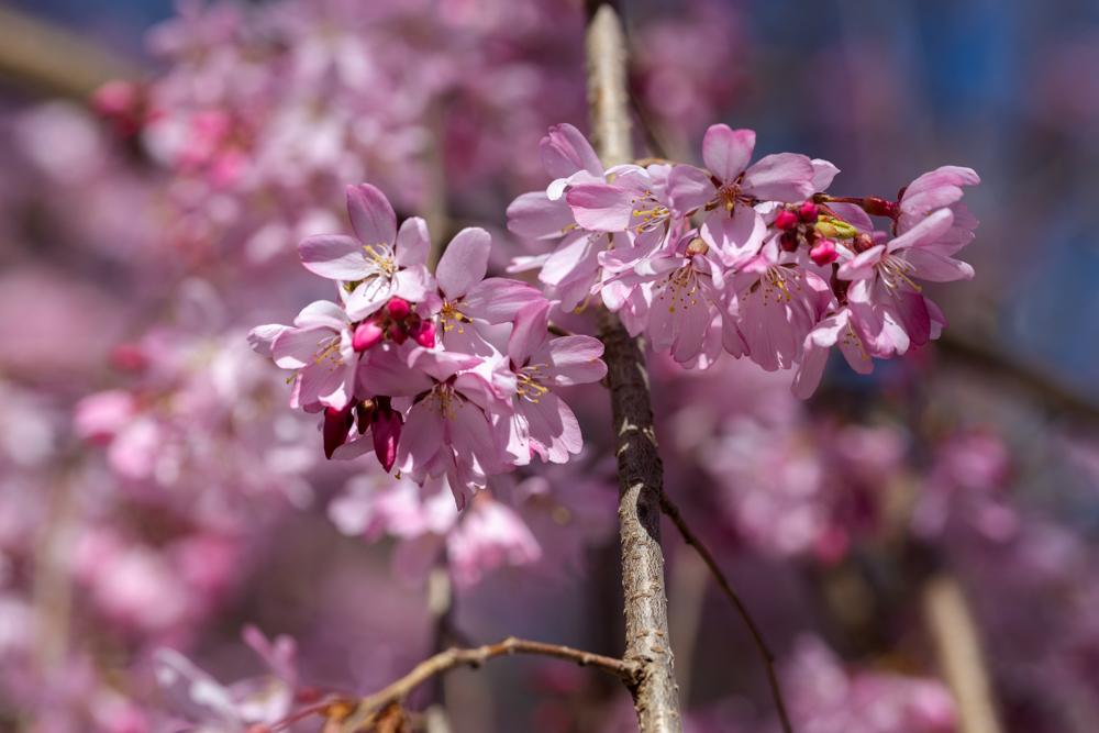 枝垂れ桜 咲く_a0261169_18572380.jpg