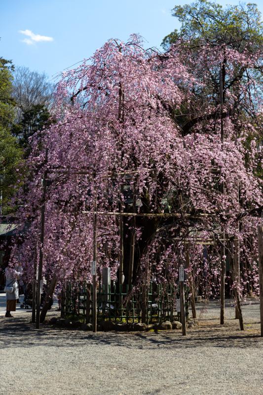 枝垂れ桜 咲く_a0261169_18580167.jpg