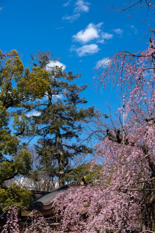 枝垂れ桜 咲く_a0261169_19065791.jpg