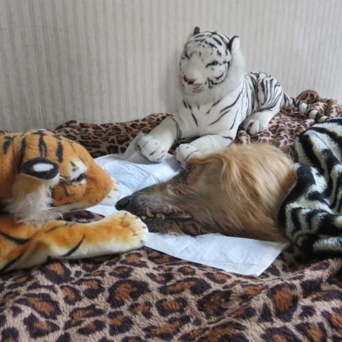 Tiger 殿  永眠_a0083887_11540654.jpg