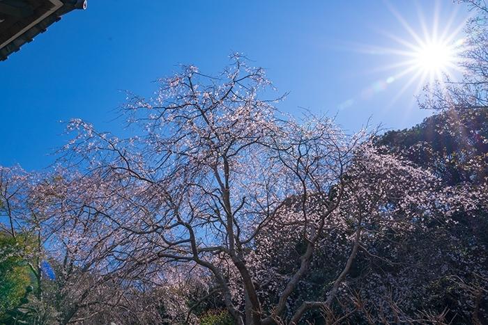 鎌倉桜散歩_b0145398_23293304.jpg