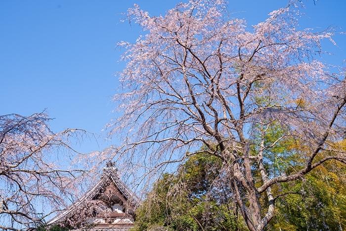 鎌倉桜散歩_b0145398_23301701.jpg