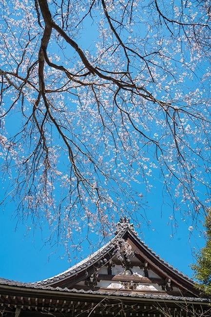 鎌倉桜散歩_b0145398_23303741.jpg