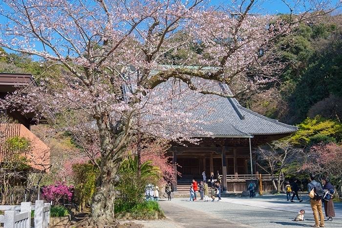 鎌倉桜散歩_b0145398_23344039.jpg