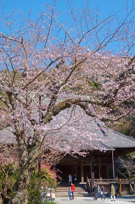 鎌倉桜散歩_b0145398_23360771.jpg