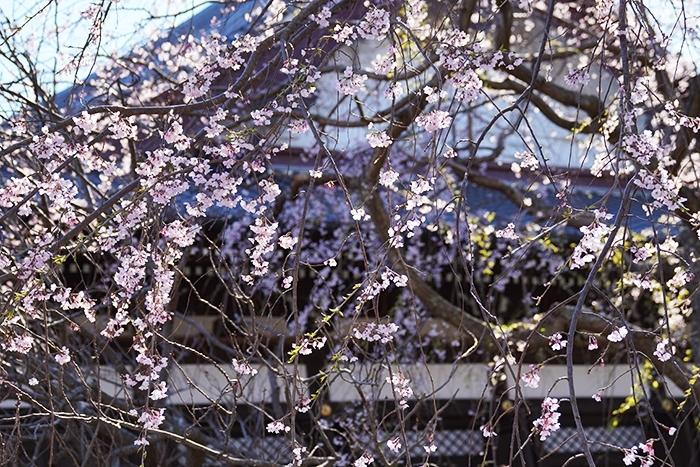 鎌倉桜散歩_b0145398_23381503.jpg