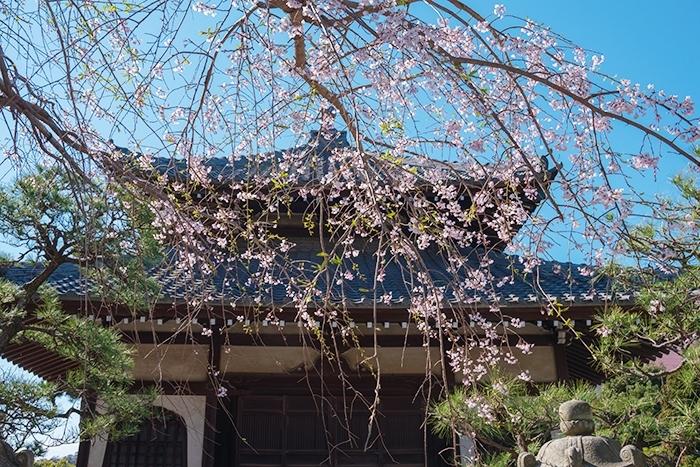 鎌倉桜散歩_b0145398_23382924.jpg