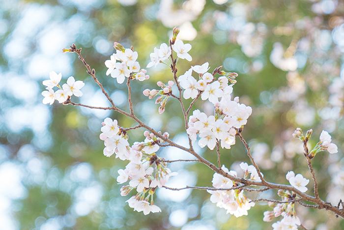 鎌倉桜散歩_b0145398_23414277.jpg