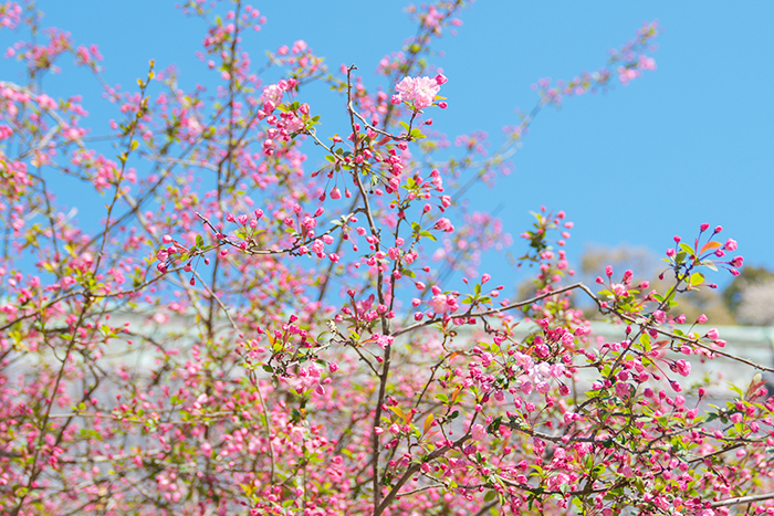 鎌倉桜散歩_b0145398_23494661.jpg