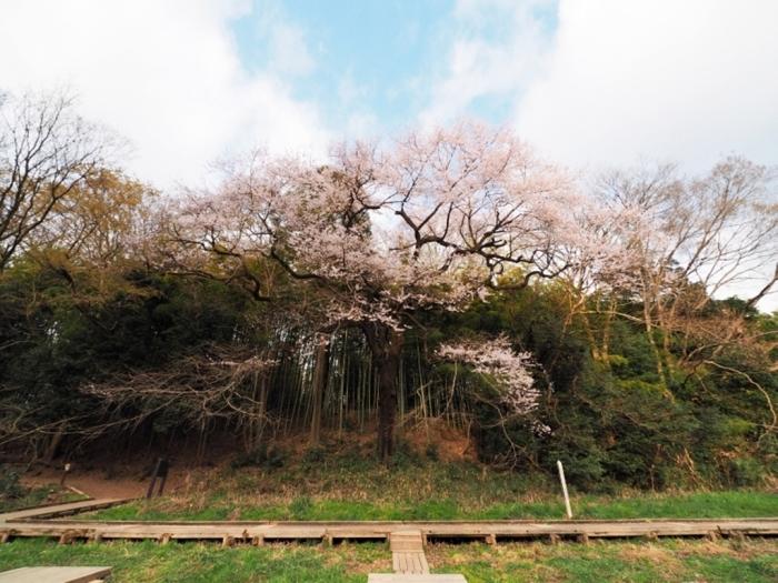 桜追っかけ 北本自然観察公園へ_f0224100_20574169.jpg