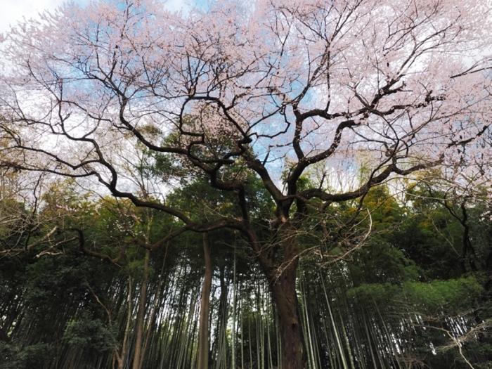 桜追っかけ 北本自然観察公園へ_f0224100_20580698.jpg