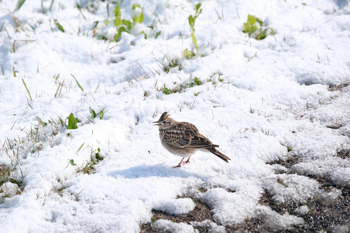 X-T30 見参 そのII 菜の花に雪が降る #FUJIX-T30_c0065410_22170928.jpg