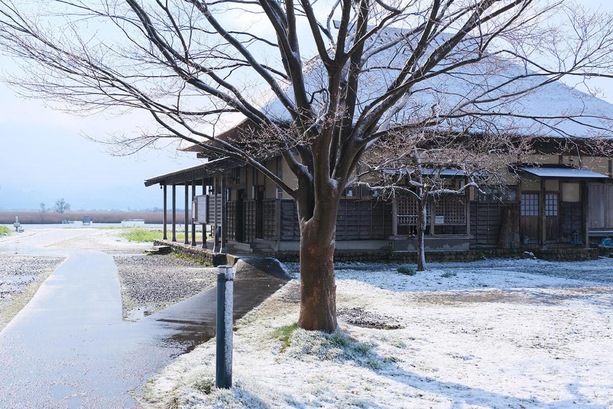 X-T30 見参 そのII 菜の花に雪が降る #FUJIX-T30_c0065410_22172434.jpg