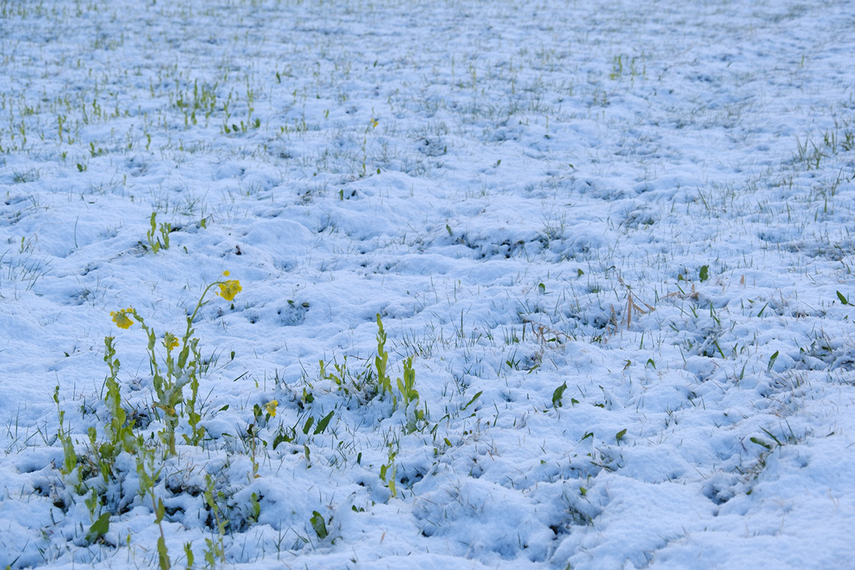 X-T30 見参 そのII 菜の花に雪が降る #FUJIX-T30_c0065410_22174444.jpg